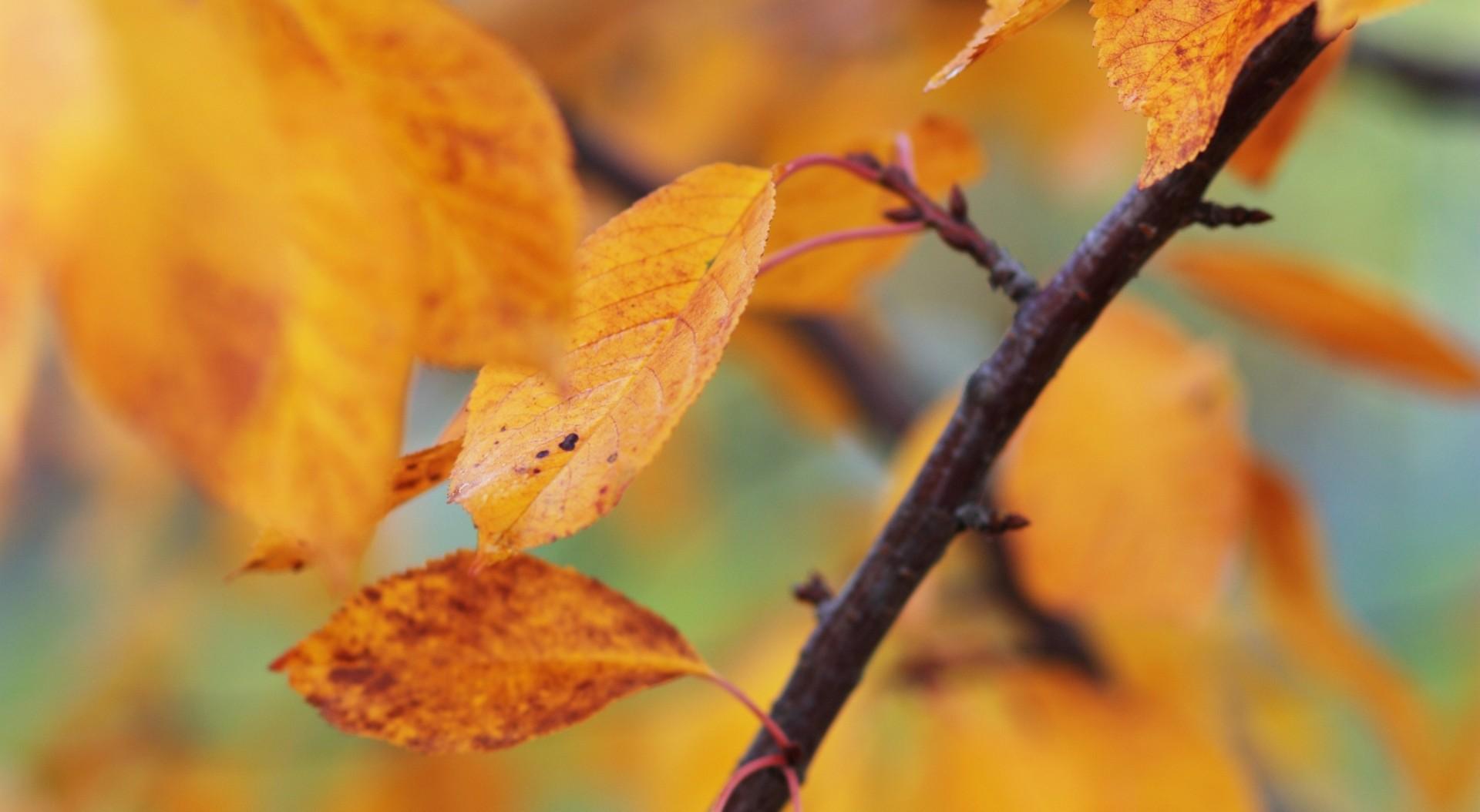Őszi meggyfa